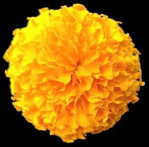 Marigold PNG Pic PNG Clip art