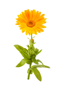 Marigold PNG Picture PNG Clip art
