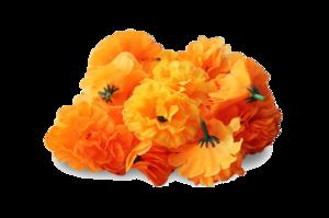 Marigold PNG Transparent Image PNG Clip art