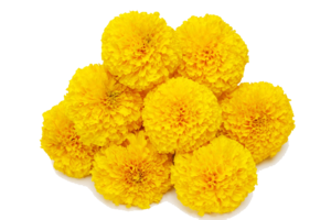 Marigold Transparent Background PNG icon