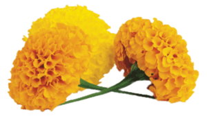 Marigold Transparent PNG PNG icon