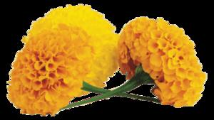 Marigold Transparent PNG PNG image