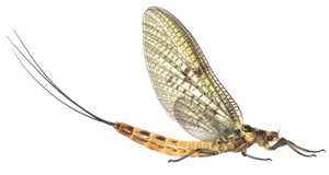 Mayfly PNG Clipart PNG Clip art