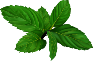 Mint PNG File PNG Clip art