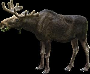 Moose PNG File PNG Clip art
