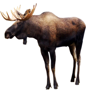 Moose PNG Pic PNG Clip art