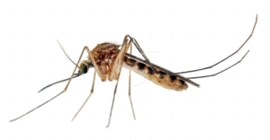 Mosquito Transparent Images PNG PNG Clip art