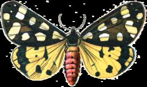 Moth PNG Image PNG Clip art