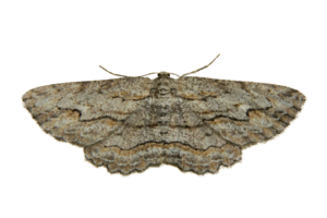 Moth PNG Photo PNG Clip art