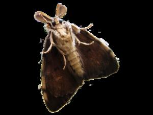 Moth PNG Transparent PNG Clip art