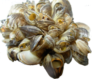 Mussel PNG Background Image PNG Clip art