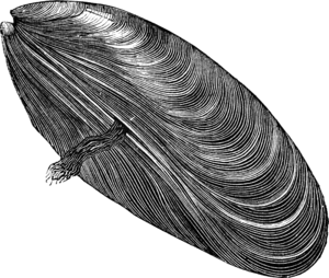 Mussel PNG Free Download PNG Clip art