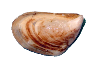 Mussel PNG Image PNG Clip art