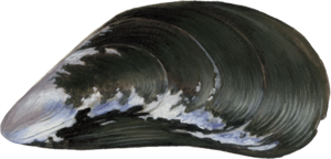 Mussel PNG Picture PNG Clip art