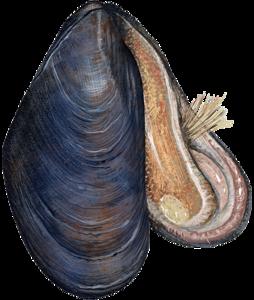 Mussel PNG Transparent Image PNG Clip art