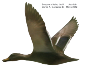 Northern Pintail PNG HD PNG Clip art