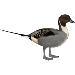 Northern Pintail PNG Pic PNG Clip art
