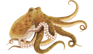 Octopus PNG Picture PNG Clip art