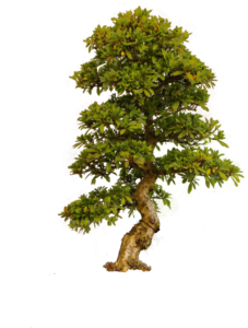 Old Tree PNG PNG Clip art