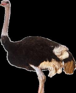 Ostrich PNG Clipart PNG Clip art