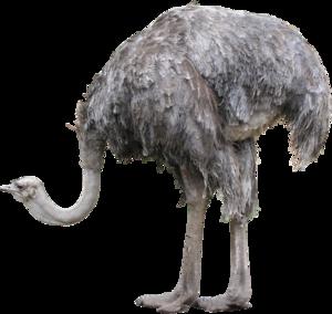 Ostrich PNG Photos PNG Clip art