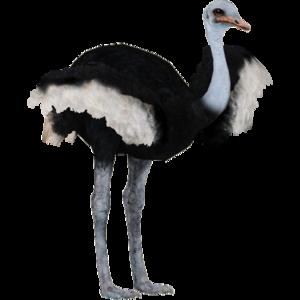 Ostrich PNG Pic PNG Clip art