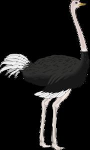 Ostrich PNG Transparent Image PNG Clip art