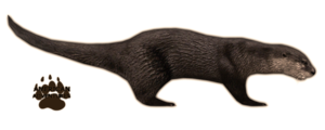 Otter PNG Background Image PNG images