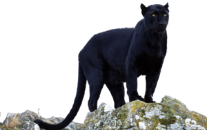 Panther Transparent Background PNG Clip art