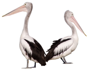Pelican Background PNG PNG Clip art