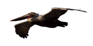 Pelican PNG Background Image PNG Clip art
