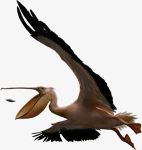 Pelican PNG Clipart PNG Clip art