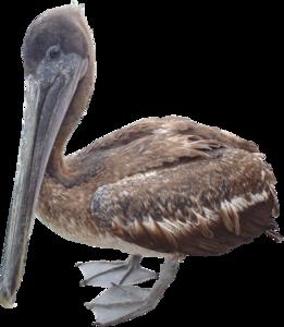 Pelican PNG Free Download PNG Clip art
