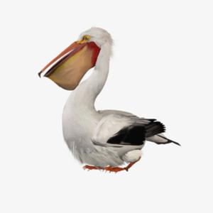 Pelican PNG Image PNG Clip art