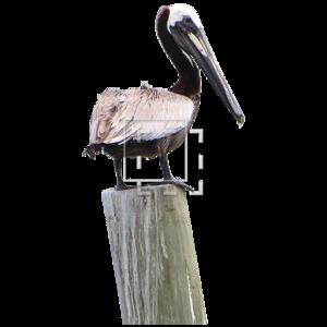 Pelican PNG Pic PNG Clip art
