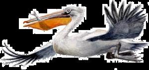 Pelican PNG Picture PNG Clip art