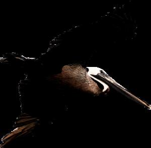 Pelican PNG Transparent Image PNG Clip art