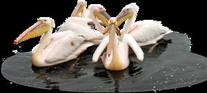 Pelican PNG Transparent Picture PNG Clip art