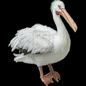 Pelican Transparent Background PNG Clip art