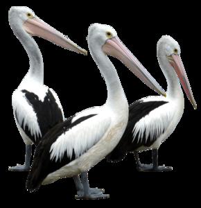 Pelican Transparent Images PNG PNG Clip art