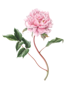 Peony PNG File PNG Clip art