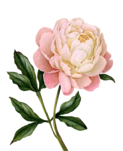 Peony PNG Photo PNG Clip art