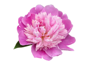 Peony PNG Transparent Picture PNG Clip art