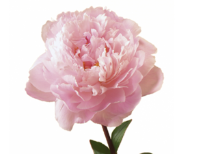 Peony Transparent Background PNG Clip art