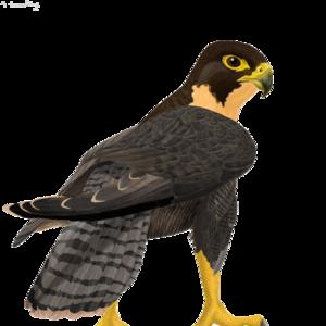 Peregrine Falcon PNG Clipart PNG Clip art