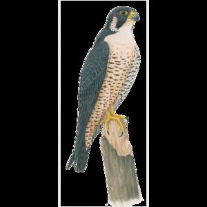 Peregrine Falcon PNG HD PNG Clip art