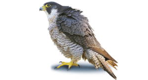 Peregrine Falcon PNG Photo PNG clipart