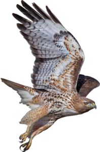 Peregrine Falcon PNG Photos PNG Clip art