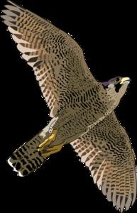 Peregrine Falcon PNG Pic PNG Clip art
