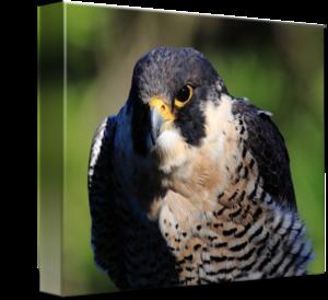 Peregrine Falcon PNG Transparent PNG Clip art